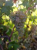 Uva nera (barbera e dolcetto) uva bianca (cortese) da Vino