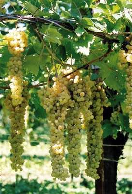 Uva bianca Trebbiano da vino