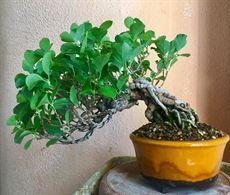 Bonsai Shohin di pregio