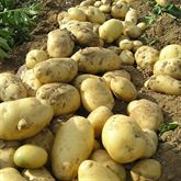 Patate Fresche | Patate olandesi | Patate Irlandesi In Vendi